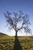 Lone Oak Leafless Silhouette Royalty Free Stock Images