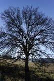 Lone oak tree. A leafless, lone oak tree Royalty Free Stock Images