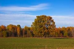 Lone oak tree in autumn field Stock Images