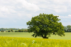 Lone oak tree in barley field Stock Image