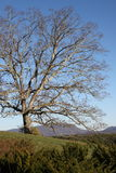 Lone oak tree Royalty Free Stock Photography