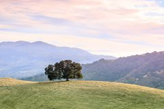 Lone Oak Tree in Bay Area Landscape. Royalty Free Stock Photos