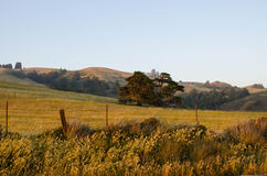 Lone oak tree in California field. Lone oak tree in California countryside at sunset Stock Photography