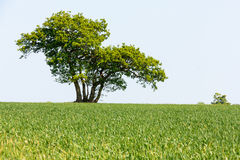 Lone oak tree in corn field Royalty Free Stock Photo