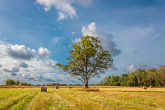 Lone oak tree on the field. Stock Photography