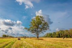 Lone oak tree on the field. Lone oak tree on a field of cut grass Stock Photography