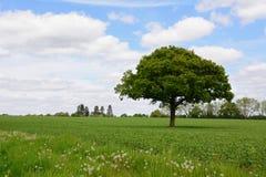 Lone oak tree in a field Royalty Free Stock Photography