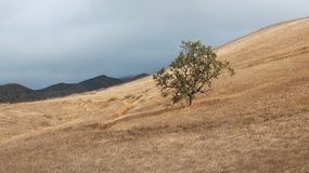 Lone Oak Tree on Hillside with Golden Grass and Mountains on Hor. A California oak tree sits on a hillside of dry golden colored glass with dark mountains in the Stock Images