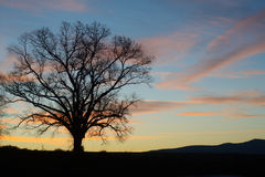 Lone oak tree silhouette on a hill at sunrise. Royalty Free Stock Photo