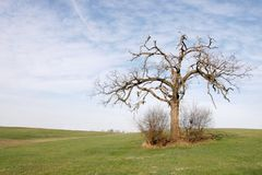 LOne Oak tree (Spring) Stock Image