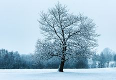 The Lone Oak Tree stock photography