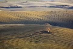 Lone oak tree in the Tuscan hills. Lonely oak tree in the Tuscan countryside, San Quirico d\'Orcia (Italy Stock Photography