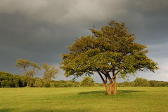 Lone oak tree under threatening clouds Royalty Free Stock Photo