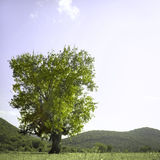 Lone Oak Tree Stock Photography