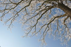Lone Oak in winter Royalty Free Stock Photos