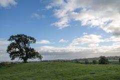 lone oaktree Arkivfoto