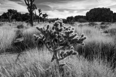Lone Ocotillo cactus guarding meadow in Desert royalty free stock photography