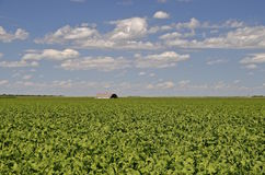 Lone old shed in a beet field Royalty Free Stock Photos