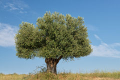Lone Olive Tree Royalty Free Stock Images