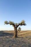 Lone olive tree Royalty Free Stock Photos