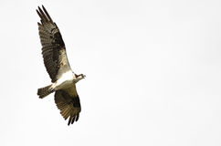 Lone Osprey Calling While Flying on a White Background Stock Photo