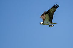 Lone Osprey Carrying a Fish While Flying in a Blue Sky Royalty Free Stock Image