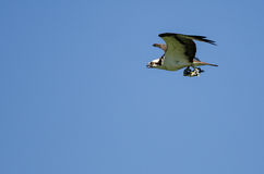 Lone Osprey Carrying a Fish While Flying in a Blue Sky Royalty Free Stock Images