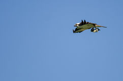 Lone Osprey Carrying a Fish While Flying in a Blue Sky Royalty Free Stock Photo