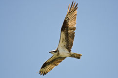 Lone Osprey Flying in a Blue Sky Royalty Free Stock Photo