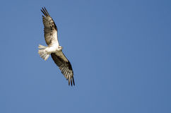 Lone Osprey Flying in a Blue Sky Royalty Free Stock Photos