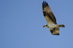 Lone Osprey Flying in Blue Sky Stock Images