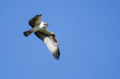 Lone Osprey Flying in a Blue Sky Stock Images