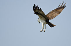 Lone Osprey Hunting on the Wing in a Blue Sky Stock Photos