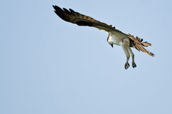 Lone Osprey Hunting on the Wing in a Blue Sky Stock Photo