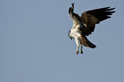 Lone Osprey Hunting on the Wing in a Blue Sky Royalty Free Stock Photos