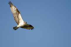 Lone Osprey Making Direct Eye Contact While Flying in Blue Sky Royalty Free Stock Photo