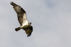 Lone Osprey Making Direct Eye Contact While Flying in a Blue Sky Stock Image