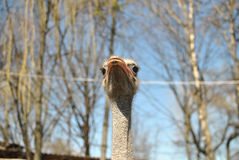Lone ostrich Royalty Free Stock Photo