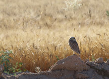 Lone owl out on the fields in the sun Royalty Free Stock Photos