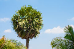 Lone Palm Royalty Free Stock Photos