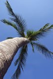 Lone Palm Tree Stock Photography