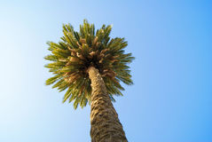 A lone palm tree on blue sky background. Royalty Free Stock Photography