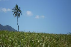 Lone palm tree. With grasses in foreground and mountain in background Stock Photography