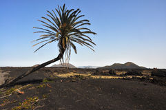 Lone palm tree in lava landscape on volcanic spanish canary island lanzarote Royalty Free Stock Photography