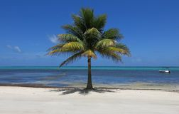 Lone Palm Tree stock images