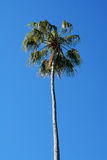 Lone palm tree Royalty Free Stock Photography