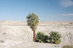 Lone Palm trees in desert. 3 Palm trees in the badlands in Borrego Desert State Park Stock Images