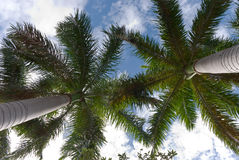 Lone palms tree on a windy,sunny day Royalty Free Stock Images