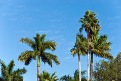 Lone palms tree on a windy,sunny day Stock Photo