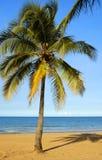 lone palmträd Arkivbild